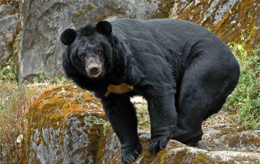 Старый японский каратист расправился снапавшим нанего гималайским медведем